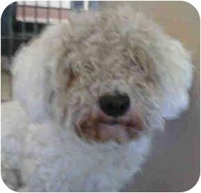 Bichon Frise Mix Dog for adoption in San Clemente, California - NEWTON