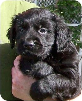 Golden Retriever/Cocker Spaniel Mix Puppy for adoption in El Segundo, California - Roscoe