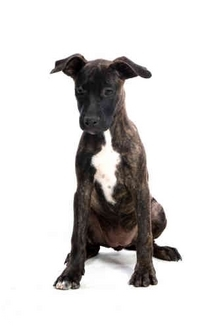 American Pit Bull Terrier Mix Dog for adoption in Lawton, Oklahoma - SNUGGLES