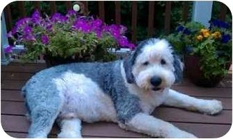 Old English Sheepdog Dog for adoption in Berea, Ohio - Ringo-Courtesy Post