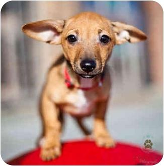 Chihuahua/Dachshund Mix Puppy for adoption in Seattle, Washington - chi pup Samwise