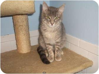 Domestic Shorthair Kitten for adoption in Edwardsville, Illinois - Chad