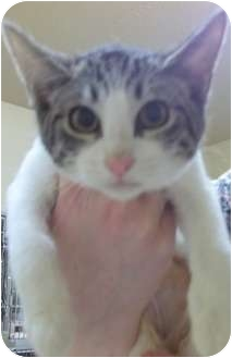 Domestic Shorthair Cat for adoption in Grants Pass, Oregon - Nala