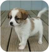 Jack Russell Terrier/Shih Tzu Mix Puppy for adoption in Foster, Rhode Island - Angel