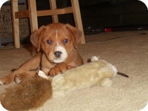 Labrador Retriever Mix Puppy for adoption in Marlton, New Jersey - Sparrow
