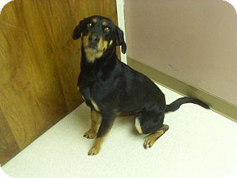 Hound (Unknown Type)/Shepherd (Unknown Type) Mix Dog for adoption in Staunton, Virginia - Luna