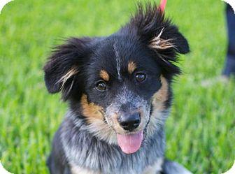 Australian Shepherd/Corgi Mix Puppy for adoption in Austin, Texas - Pippi Lou
