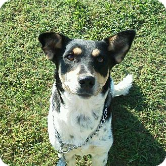 Australian Cattle Dog Mix Dog for adoption in Lawrenceburg, Tennessee - Sally