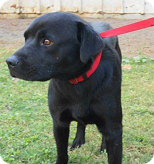 Labrador Retriever Mix Dog for adoption in Sumter, South Carolina - KENNEL #3