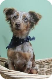 Dachshund Mix Dog for adoption in Benbrook, Texas - Redford