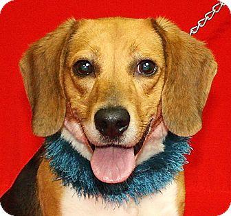Beagle Mix Dog for adoption in Jackson, Michigan - Buster