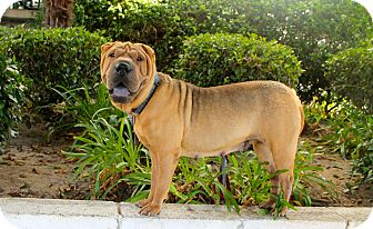 Shar Pei Dog for adoption in Los Angeles, California - Zoila - AMAZING!!!