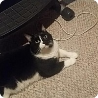 American Shorthair Cat for adoption in Baltimore, Maryland - Turbo - COURTESY POST