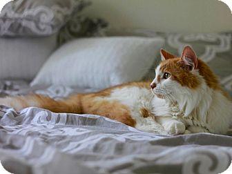 Norwegian Forest Cat Cat for adoption in Long Beach, New York - Romeo