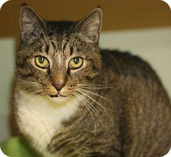 Domestic Shorthair Cat for adoption in Canoga Park, California - Judge