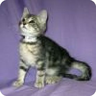 Domestic Shorthair Cat for adoption in Powell, Ohio - Jackson