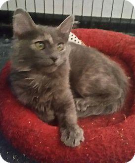 Domestic Mediumhair Kitten for adoption in temecula, California - Honey