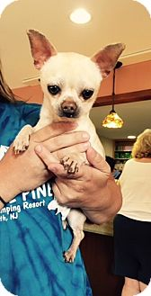 Chihuahua Dog for adoption in Barnegat, New Jersey - Romeo