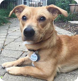 Dachshund/Beagle Mix Dog for adoption in Palatine, Illinois - Tater Tot