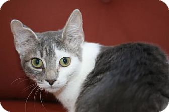 American Shorthair Cat for adoption in Buford, Georgia - Astrid
