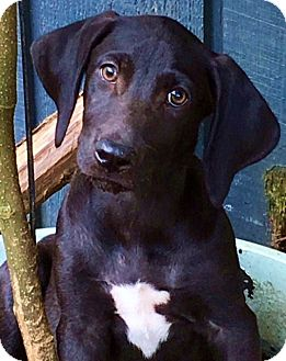 Labrador Retriever Mix Puppy for adoption in Stamford, Connecticut - Rolls-mom is purebred Lab