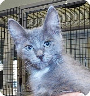 Domestic Longhair Kitten for adoption in Grants Pass, Oregon - Lucas