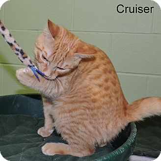 Domestic Shorthair Kitten for adoption in Slidell, Louisiana - Cruiser