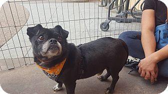 Pug/French Bulldog Mix Dog for adoption in San Diego, California - Maylo