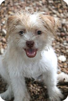Jack Russell Terrier/Terrier (Unknown Type, Small) Mix Puppy for adoption in Bedminster, New Jersey - Peppermint Patty MEET HER