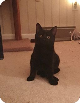 Domestic Mediumhair Kitten for adoption in Colmar, Pennsylvania - Lilith