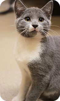 Domestic Shorthair Kitten for adoption in Carlisle, Pennsylvania - Ozzy