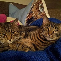 Adopt A Pet :: Tiger & Pepper ~ Bonded Brothers - Toms River, NJ