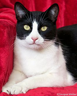 Domestic Shorthair Cat for adoption in St Louis, Missouri - Buster