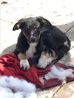 German Shepherd Dog/Border Collie Mix Puppy for adoption in Regina, Saskatchewan - D'Arcy