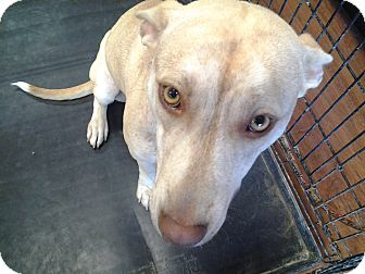 Whippet/Bull Terrier Mix Dog for adoption in Memphis, Tennessee - Maple