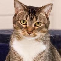 Domestic Shorthair/Domestic Shorthair Mix Cat for adoption in Cartersville, Georgia - Luke