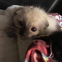 Adopt A Pet :: Suki Yaki - Myrtle Beach, SC