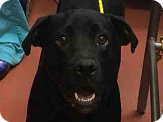 Labrador Retriever Mix Dog for adoption in Missoula, Montana - BANDIT