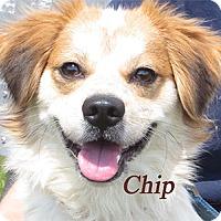 Adopt A Pet :: Chip - Warren, PA