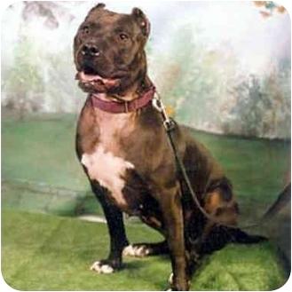 American Pit Bull Terrier Mix Dog for adoption in Berkeley, California - Etta