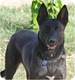 Australian Kelpie Dog for adoption in Chandler, Arizona - Maya