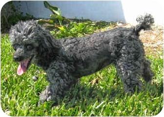 Toy Poodle Dog for adoption in Melbourne, Florida - CARLENE