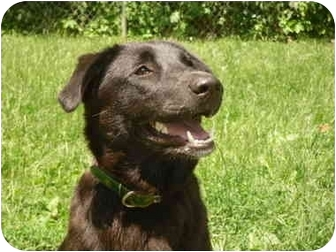 Labrador Retriever/Retriever (Unknown Type) Mix Dog for adoption in New Fairfield, Connecticut - Betsy