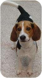 Beagle Dog for adoption in Chambersburg, Pennsylvania - Ike