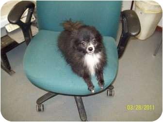 Pomeranian Dog for adoption in Grand Saline, Texas - Little Dog