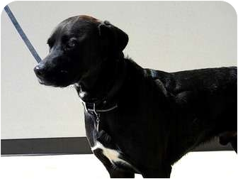 Labrador Retriever/Rottweiler Mix Dog for adoption in St. James, Missouri - Chase