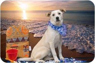 Labrador Retriever/Spaniel (Unknown Type) Mix Puppy for adoption in Livonia, Michigan - Buddy - Adoption Pending
