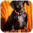Photo 1 - Dachshund Dog for adoption in Portland, Oregon - Zoe
