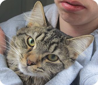 Domestic Mediumhair Cat for adoption in Marseilles, Illinois - Bart