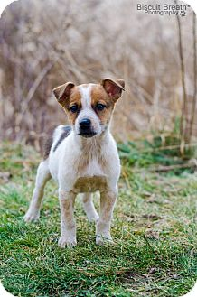 Australian Cattle Dog/Shepherd (Unknown Type) Mix Puppy for adoption in Howell, Michigan - Casey